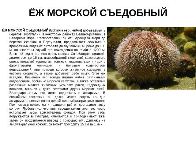 ЁЖ МОРСКОЙ СЪЕДОБНЫЙ ЁЖ МОРСКОЙ СЪЕДОБНЫЙ (Echinus esсulentus) добываемый у берегов Португалии, в некоторых районах Великобритании, в Северном море. Распространен он от Баренцева моря до берегов Испании и Португалии, предпочитает селиться в прибрежн…