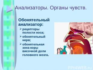 Анализаторы. Органы чувств. Обонятельный анализатор: рецепторы полости носа; обо