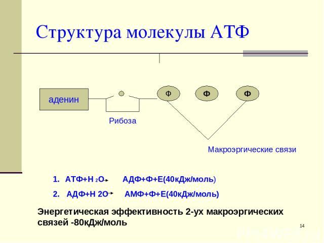 * Структура молекулы АТФ аденин Ф Ф Ф Рибоза Макроэргические связи АТФ+Н 2О АДФ+Ф+Е(40кДж/моль) 2. АДФ+Н 2О АМФ+Ф+Е(40кДж/моль) Энергетическая эффективность 2-ух макроэргических связей -80кДж/моль