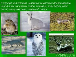 В тундре количество наземных животных представлено небольшим числом их видов: ле