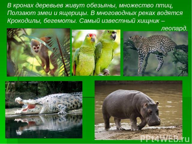 В кронах деревьев живут обезьяны, множество птиц, Ползают змеи и ящерицы. В многоводных реках водятся Крокодилы, бегемоты. Самый известный хищник – леопард.