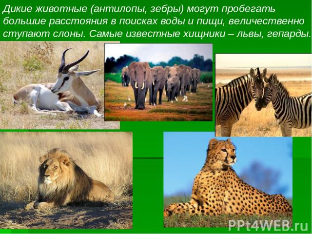 Дикие животные (антилопы, зебры) могут пробегать большие расстояния в поисках воды и пищи, величественно ступают слоны. Самые известные хищники – львы, гепарды.