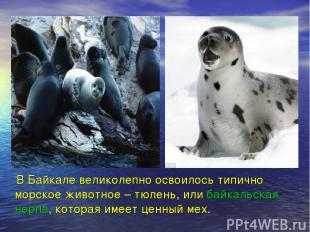 В Байкале великолепно освоилось типично морское животное – тюлень, или байкальск
