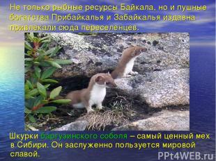 Не только рыбные ресурсы Байкала, но и пушные богатства Прибайкалья и Забайкалья
