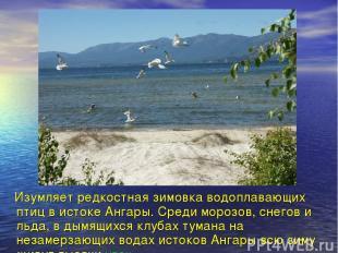 Изумляет редкостная зимовка водоплавающих птиц в истоке Ангары. Среди морозов, с