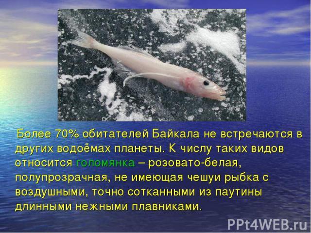 Более 70% обитателей Байкала не встречаются в других водоёмах планеты. К числу таких видов относится голомянка – розовато-белая, полупрозрачная, не имеющая чешуи рыбка с воздушными, точно сотканными из паутины длинными нежными плавниками.