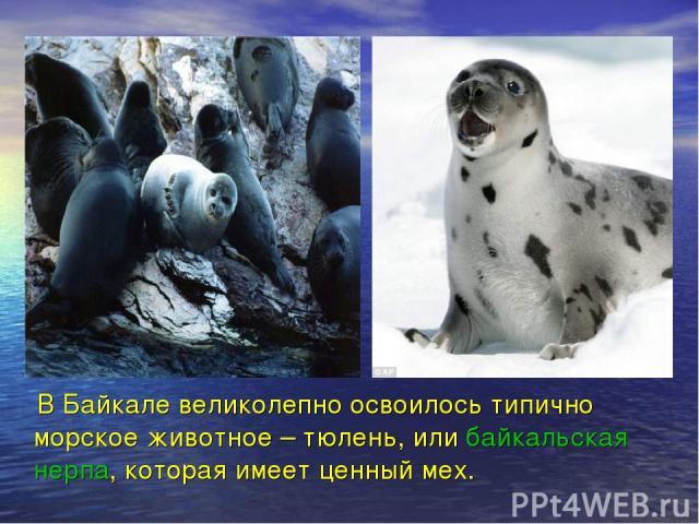 В Байкале великолепно освоилось типично морское животное – тюлень, или байкальская нерпа, которая имеет ценный мех.