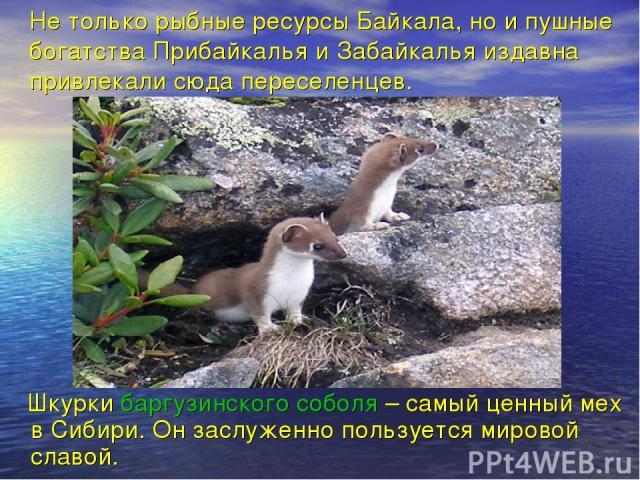 Не только рыбные ресурсы Байкала, но и пушные богатства Прибайкалья и Забайкалья издавна привлекали сюда переселенцев. Шкурки баргузинского соболя – самый ценный мех в Сибири. Он заслуженно пользуется мировой славой.