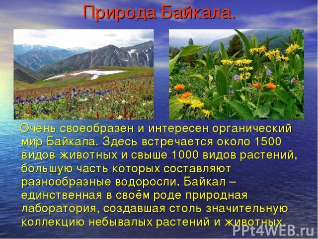 Природа Байкала. Очень своеобразен и интересен органический мир Байкала. Здесь встречается около 1500 видов животных и свыше 1000 видов растений, большую часть которых составляют разнообразные водоросли. Байкал – единственная в своём роде природная …