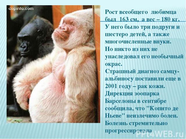 Рост всеобщего любимца был 163 см, а вес – 180 кг. У него было три подруги и шестеро детей, а также многочисленные внуки. Но никто из них не унаследовал его необычный окрас. Страшный диагноз самцу-альбиносу поставили еще в 2001 году – рак кожи. Дире…