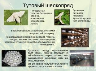 Тутовый шелкопряд - невзрачная толстая беловатая бабочка, потерявшая способность