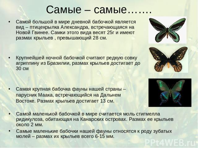 Самые – самые……. Самой маленькой бабочкой в мире считается моль стигмелла ридикулоза, обитающая на Канарских островах. Размах ее крыльев около 2 мм. Самые маленькие бабочки нашей фауны относятся к роду зубатых молей – размах их крыльев всего 6-15 мм…