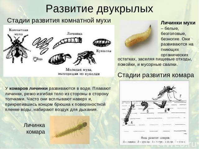 Развитие двукрылых Стадии развития комнатной мухи Стадии развития комара У комаров личинки развиваются в воде. Плавают личинки, резко изгибая тело из стороны в сторону толчками. Часто они всплывают наверх и, прикрепившись концом брюшка к поверхностн…