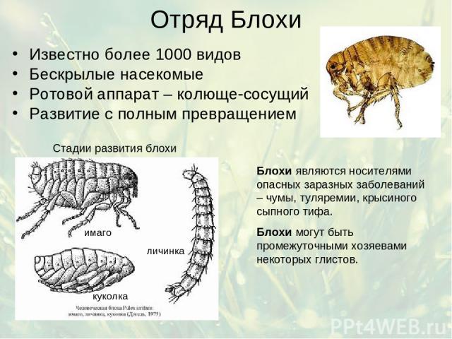 Отряд Блохи Известно более 1000 видов Бескрылые насекомые Ротовой аппарат – колюще-сосущий Развитие с полным превращением Блохи являются носителями опасных заразных заболеваний – чумы, туляремии, крысиного сыпного тифа. Блохи могут быть промежуточны…