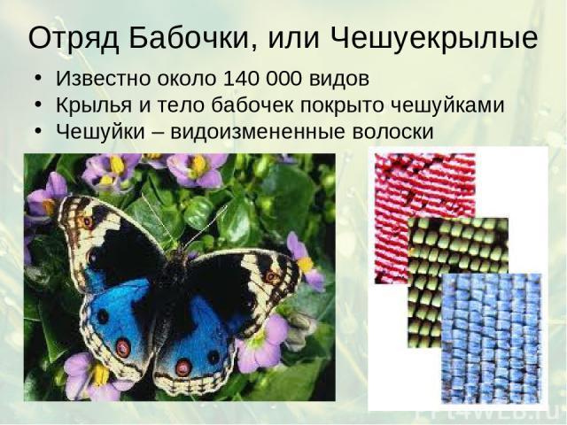 Отряд Бабочки, или Чешуекрылые Известно около 140 000 видов Крылья и тело бабочек покрыто чешуйками Чешуйки – видоизмененные волоски