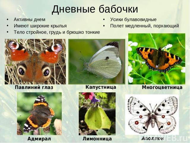 Дневные бабочки Активны днем Имеют широкие крылья Тело стройное, грудь и брюшко тонкие Усики булавовидные Полет медленный, порхающий