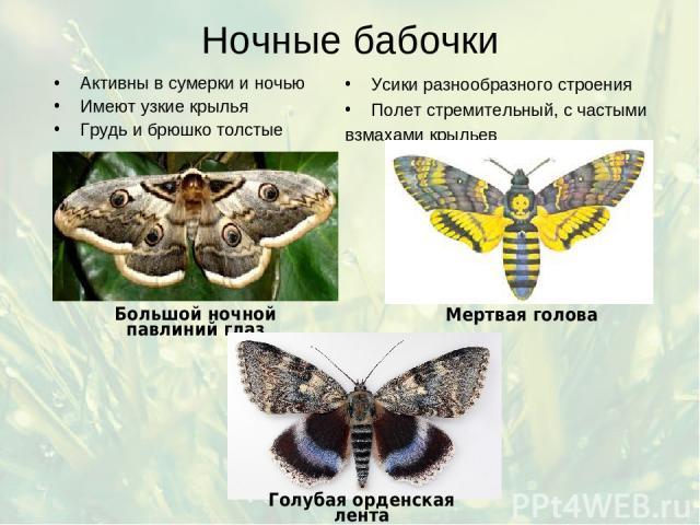 Ночные бабочки Активны в сумерки и ночью Имеют узкие крылья Грудь и брюшко толстые Усики разнообразного строения Полет стремительный, с частыми взмахами крыльев
