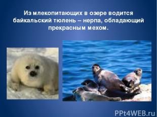 Из млекопитающих в озере водится байкальский тюлень – нерпа, обладающий прекрасн