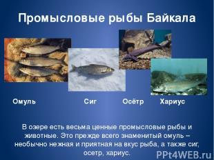 Промысловые рыбы Байкала Омуль Сиг Осётр Хариус В озере есть весьма ценные промы