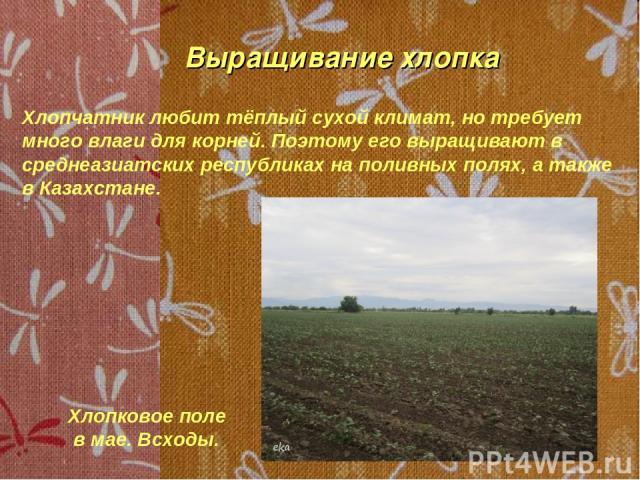 Выращивание хлопка Хлопчатник любит тёплый сухой климат, но требует много влаги для корней. Поэтому его выращивают в среднеазиатских республиках на поливных полях, а также в Казахстане. Хлопковое поле в мае. Всходы.