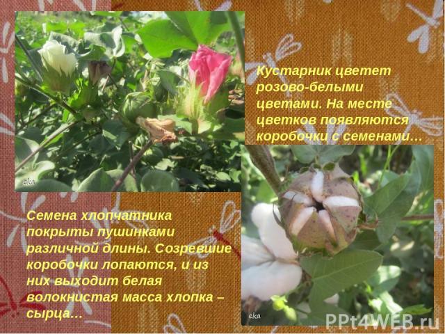 Кустарник цветет розово-белыми цветами. На месте цветков появляются коробочки с семенами… Семена хлопчатника покрыты пушинками различной длины. Созревшие коробочки лопаются, и из них выходит белая волокнистая масса хлопка – сырца…