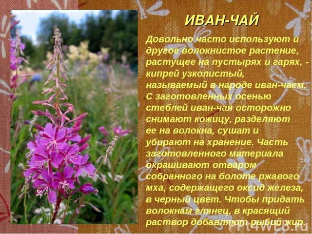 ИВАН-ЧАЙ Довольно часто используют и другое волокнистое растение, растущее на пустырях и гарях, - кипрей узколистый, называемый в народе иван-чаем. С заготовленных осенью стеблей иван-чая осторожно снимают кожицу, разделяют ее на волокна, сушат и уб…