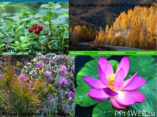 Лотос Мхи и лишайники-155 видов Ягодные кустарники Береза шерстистая и Миддендор