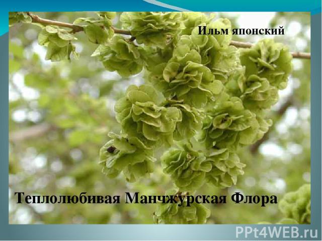 Ильм японский Теплолюбивая Манчжурская Флора