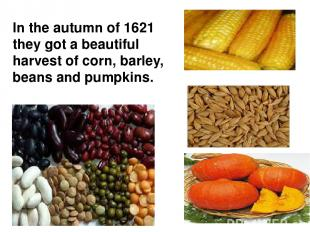 In the autumn of 1621 they got a beautiful harvest of corn, barley, beans and pu
