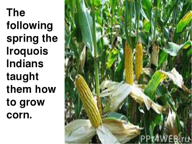 The following spring the Iroquois Indians taught them how to grow corn.