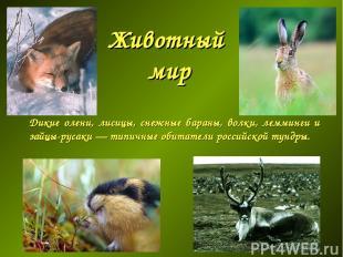 Животный мир Дикие олени, лисицы, снежные бараны, волки, лемминги и зайцы-русаки