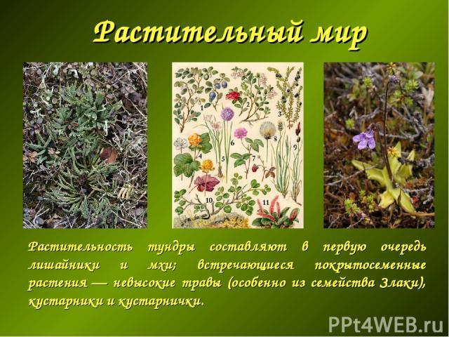 Растительный мир Растительность тундры составляют в первую очередь лишайники и мхи; встречающиеся покрытосеменные растения— невысокие травы (особенно из семейства Злаки), кустарники и кустарнички.