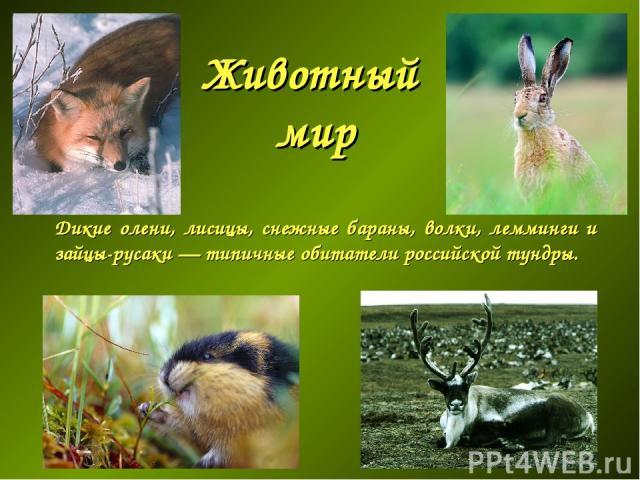 Животный мир Дикие олени, лисицы, снежные бараны, волки, лемминги и зайцы-русаки— типичные обитатели российской тундры.