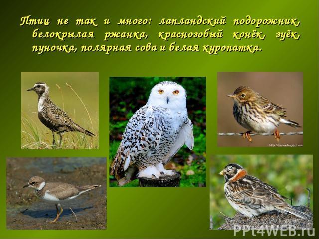 Птиц не так и много: лапландский подорожник, белокрылая ржанка, краснозобый конёк, зуёк, пуночка, полярная сова и белая куропатка.
