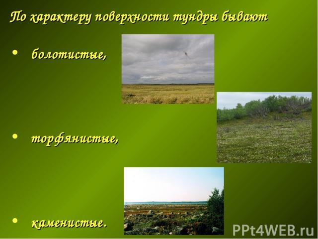 По характеру поверхности тундры бывают болотистые, торфянистые, каменистые.