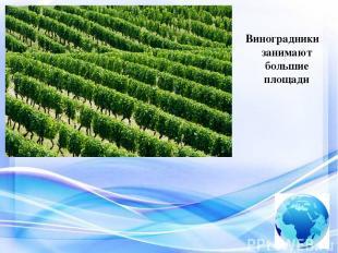 Виноградники занимают большие площади