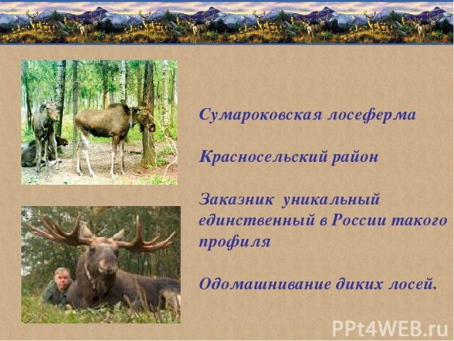 Сумароковская лосеферма Красносельский район Заказник уникальный единственный в России такого профиля Одомашнивание диких лосей.