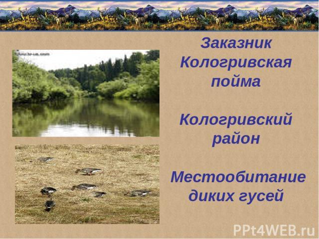 Заказник Кологривская пойма Кологривский район Местообитание диких гусей