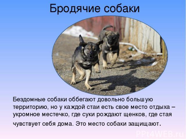 Бродячие собаки Бездомные собаки оббегают довольно большую территорию, но у каждой стаи есть свое место отдыха – укромное местечко, где суки рождают щенков, где стая чувствует себя дома. Это место собаки защищают.
