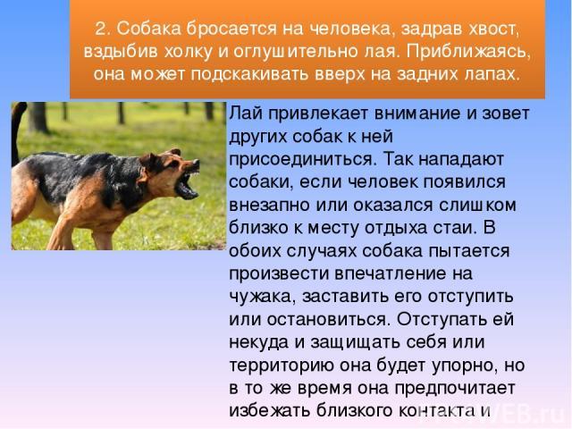 Лай привлекает внимание и зовет других собак к ней присоединиться. Так нападают собаки, если человек появился внезапно или оказался слишком близко к месту отдыха стаи. В обоих случаях собака пытается произвести впечатление на чужака, заставить его о…