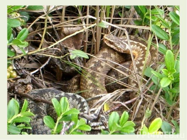 Продолжим. Змея, шурша листвой дубовой, Зашевелилася в дупле. И в лес пошла, блестя лиловой Пятнистой кожей на земле.