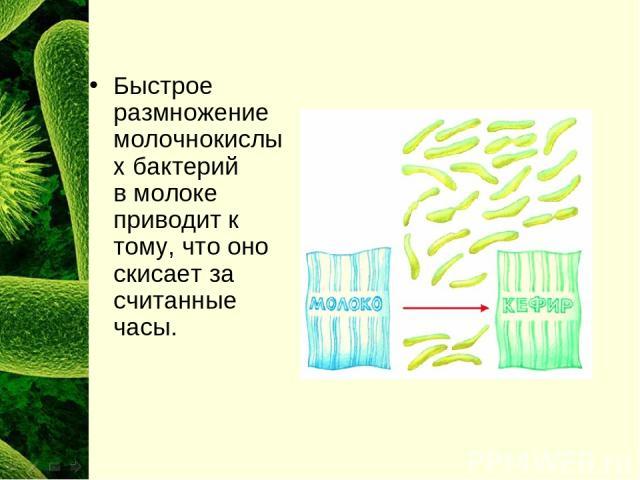 Быстрое размножение молочнокислых бактерий вмолоке приводит к тому, что оно скисает за считанные часы.