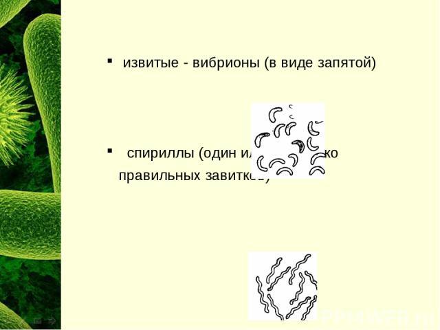 извитые - вибрионы (в виде запятой) спириллы (один или несколько правильных завитков)