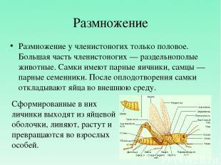 Размножение Размножение у членистоногих только половое. Большая часть членистоно