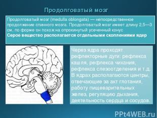 Продолговатый мозг Продолговатый мозг (medulla oblongata) — непосредственное про