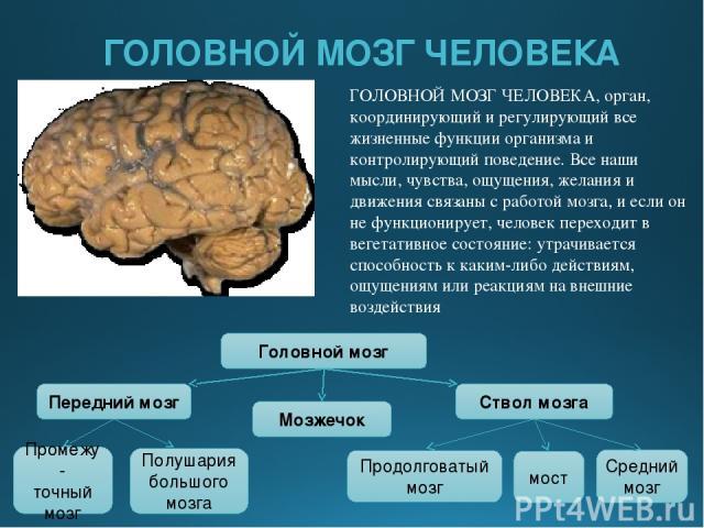 ГОЛОВНОЙ МОЗГ ЧЕЛОВЕКА ГОЛОВНОЙ МОЗГ ЧЕЛОВЕКА, орган, координирующий и регулирующий все жизненные функции организма и контролирующий поведение. Все наши мысли, чувства, ощущения, желания и движения связаны с работой мозга, и если он не функционирует…