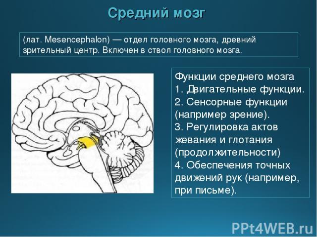 Средний мозг Функции среднего мозга 1. Двигательные функции. 2. Сенсорные функции (например зрение). 3. Регулировка актов жевания и глотания (продолжительности) 4. Обеспечения точных движений рук (например, при письме). (лат. Mesencephalon) — отдел …