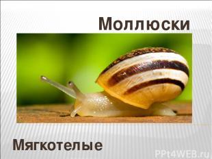 Мягкотелые Моллюски