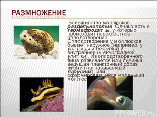 Большинство моллюсков раздельнополые. Однако есть и гермафродиты, у которых прои