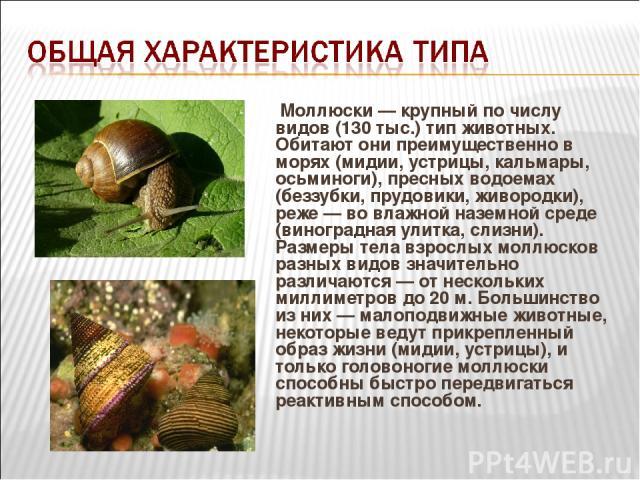 Моллюски — крупный по числу видов (130 тыс.) тип животных. Обитают они преимущественно в морях (мидии, устрицы, кальмары, осьминоги), пресных водоемах (беззубки, прудовики, живородки), реже — во влажной наземной среде (виноградная улитка, слизни). Р…